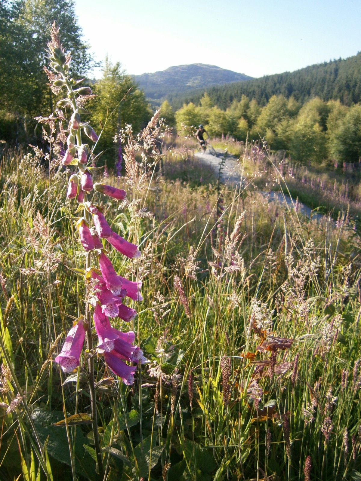 Summer at Coed y Brenin - like South Africa with foxgloves.